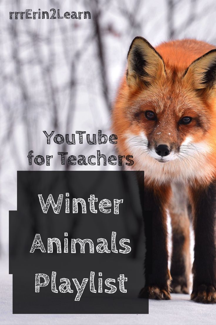 Winter animal videos. Teach and learn all about the changes animals go through in winter with this YouTube Playlist of videos perfect for Kindergarten, first grade, or second grade.