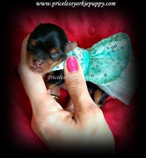 teacup Yorkie puppies for sale,teacup Yorkshire Terriers puppies for sale,Affordable yorkies Small dogs, teacup yorkies, tiny dogs, Yorkie breeders, Priceless Yorkies, Tanisha Breton Yorkie Breeders, Michigan Yorkies,AKC registered, Tanisha Breton, tanishabreton, tanisha breton yorkie breeder, 517-796-0259, 517-945-3291, tanisha, Jackson, Jackson, MI, Jackson, Michigan,  michigan yorkie breeder, breeder, yorkshire terrier MI, michigan yorkie meetup, pricelessyorkiepuppy.com,