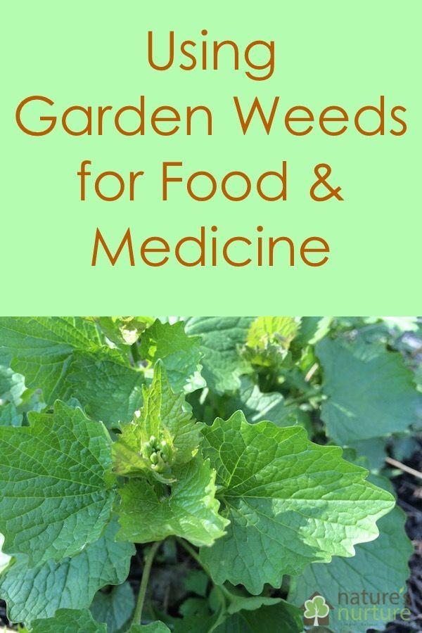 5 Garden Weeds for Food and Medicine