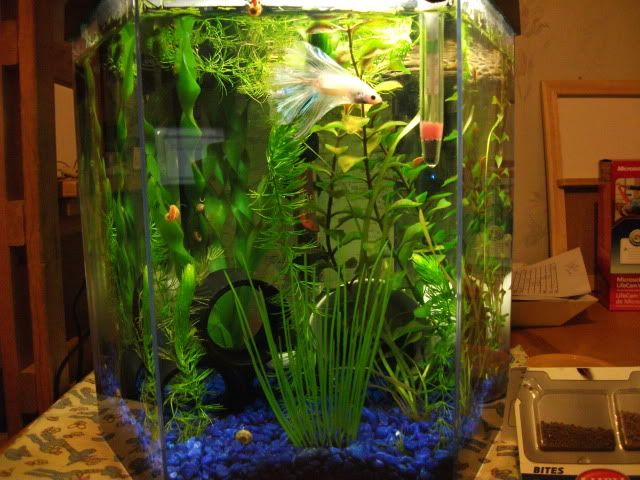 5 gallon hexagonal tank, aprox $40: good betta tank, live plants, vallisneria, hornwort. Your betta will display beautiful swimming, flaring and exploring behavior in these larger tanks that you may not see when they are kept in smaller habitats.