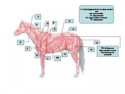 Hästmassage/sadelutprovning | ATS hästutbildningar