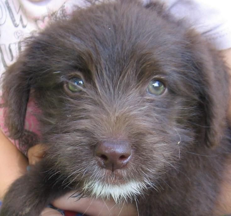 COCOA PUFF is an adorable 12week, 8 lb, female Golden