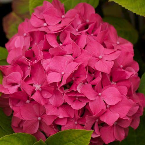 más de 25 ideas increíbles sobre arbuste fleur rose en pinterest