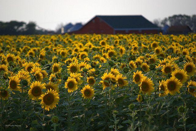 Sunflower field west of Langham, #Saskatchewan