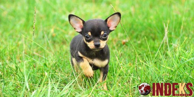Tips Pelihara Chihuahua yang Simple. Banyak orang bertanya kepada saya mengenai perawatan anjing terkecil didunia ini. Mungkin mereka sangat khawatir