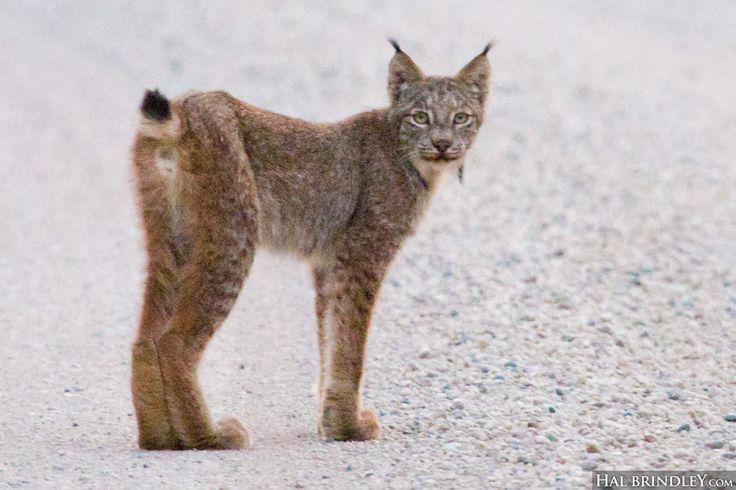 528 best images about Bobcats and Lynx on Pinterest
