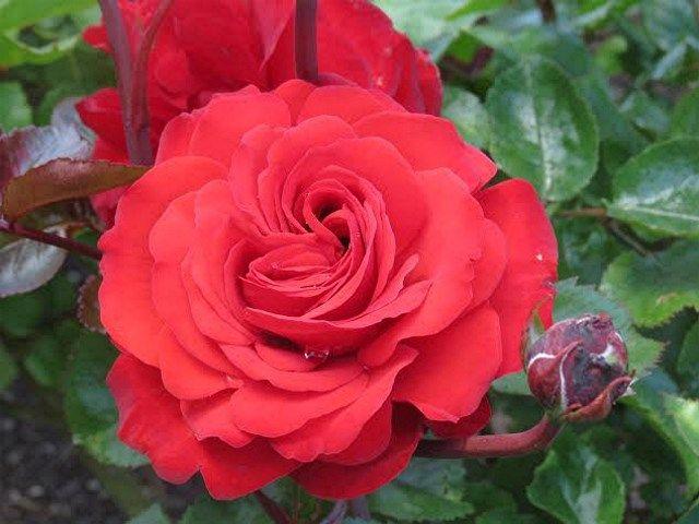 Christchurch Remembers rose | Sandra's Garden