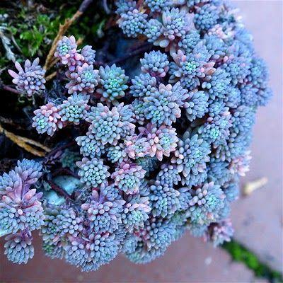 Ground Cover: Sedum hispanicum, Blue Carpet