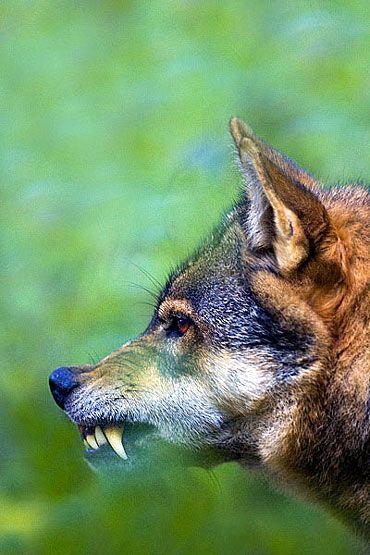 fotos do lobo cinzento