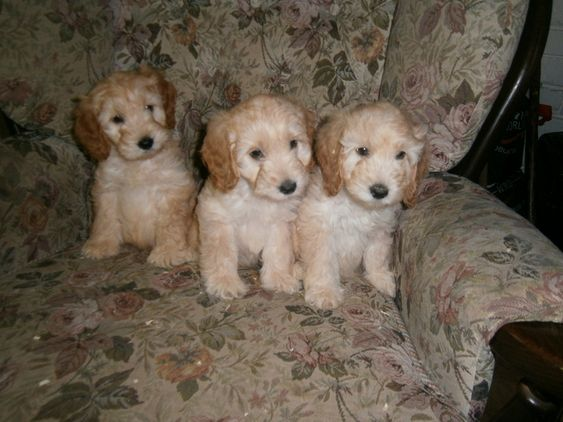 cockapoo pup's for sale