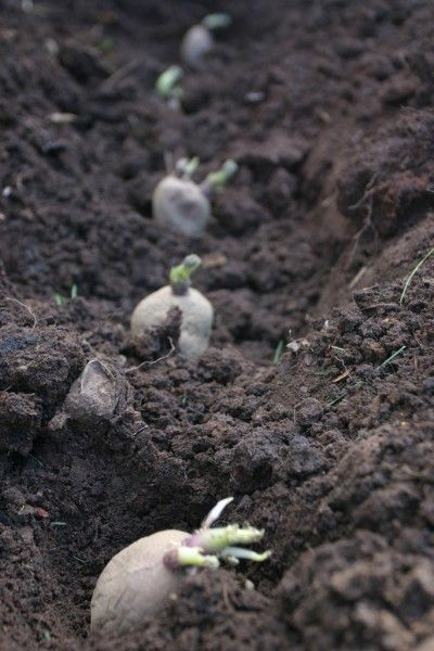 Planting Potatoes: Learn How Deep To Plant Potatoes - Let's talk potatoes. Though many people are familiar with when to plant potato crops, others may question how deep to plant potatoes once they're ready for growing. This article will help you with that.