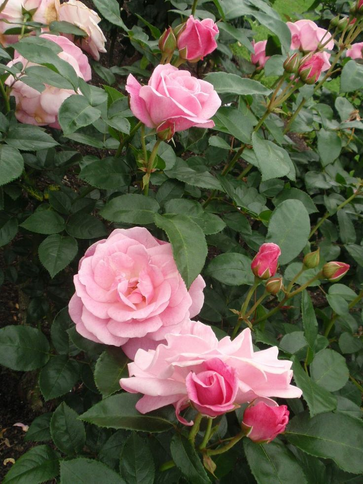Rosa 'Wise Woman'. Read more in the plant guide of http://www.aboutgardendesign.com