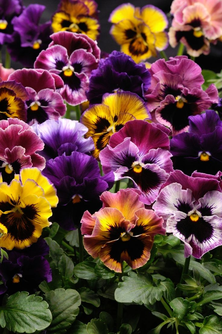 Fizzy Fruit Salad Mix F1 Pansy 25 Seed They're Stunning | eBay