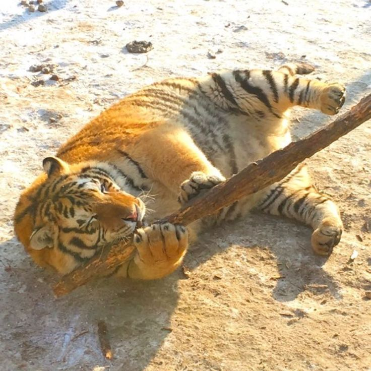 Super adorable! Fat tigers go viral in China - People's Daily Online