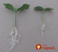 Uhorky budú rodiť ako nikdy: Pestovateľ poradil jednoduchý spôsob, ako výrazne zvýšiť úrodu uhoriek!