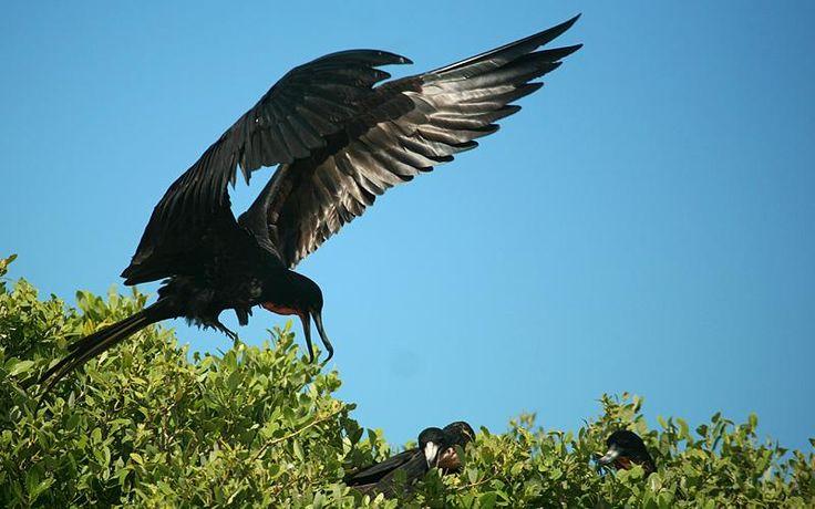 the frigatebird of Barbuda