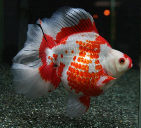 ryukin goldfish | ryukin goldfish | Tumblr