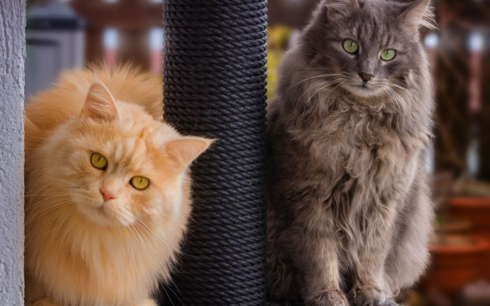 Download wallpapers British long-haired cats, fluffy cats, cute pets, ginger cat, gray cat