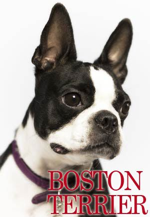 Boston Terrier - Populær blid hund fra USA, der altid ser smart ud! #hunde #hvalpe - www.petdreams.dk