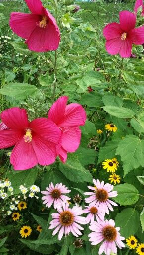 Purple Hibiscus Backyard Snob : 1000+ images about My flowers and garden 2014 on Pinterest  Garden