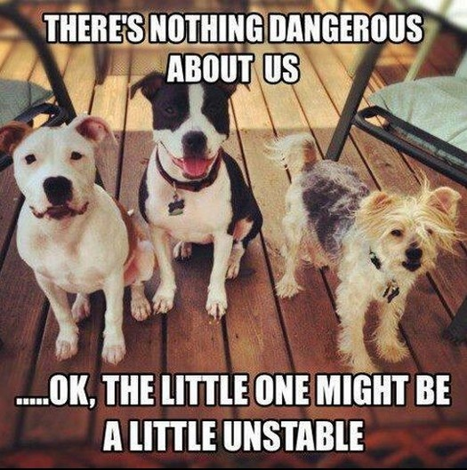 """There are about fourteen breeds of dogs that are considered part of the """"bully"""" breeds. This includes, among others, Boxers, Boston Terriers, Staffordshire Terriers, and Pitbulls."""