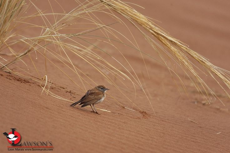 Dune Lark, Namibia's only true endemic.