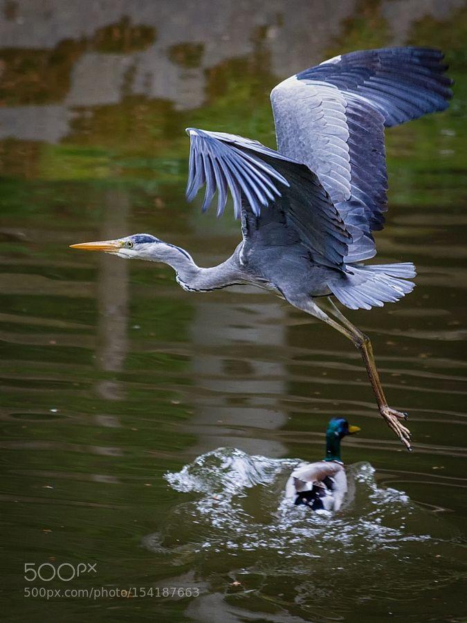 Flying Heron by OdewaJones                              …