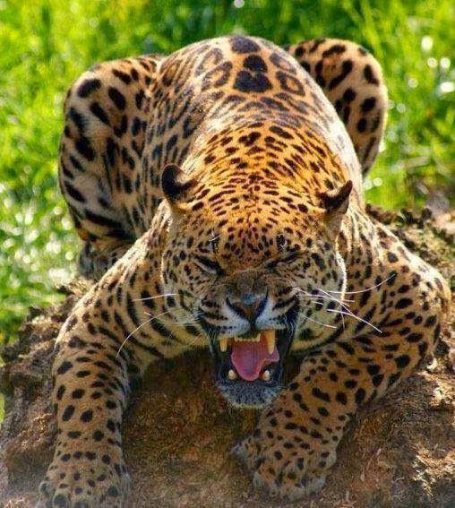 Angry Jaguar: 118 Best *Jaguar , Maior Felino Das Américas * Images On