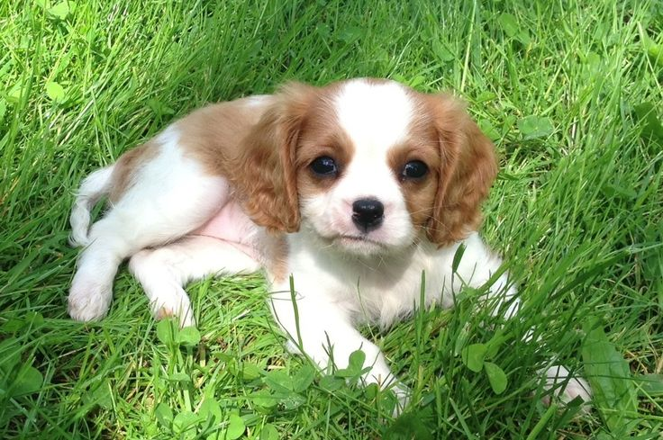 Cavalier King Charles Spaniel Puppy - This is my Maisey from Black Powder Farms