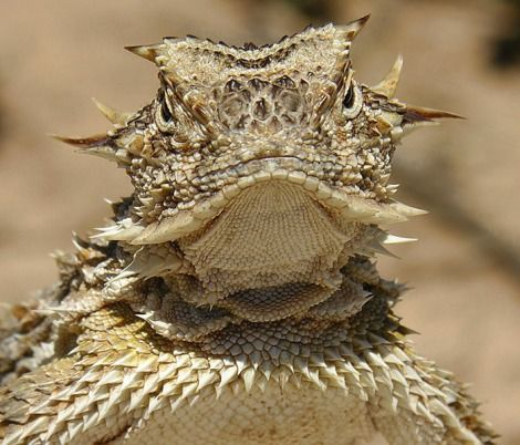 Texas Horned Lizard - Phrynosoma cornutum