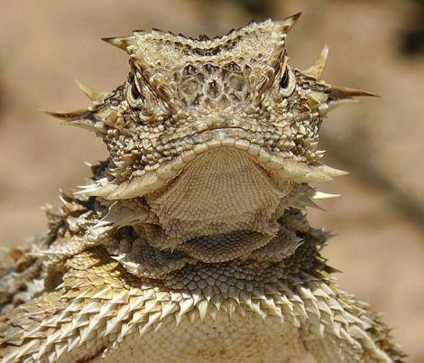 Texas Horned Lizard - Phrynosoma cornutum