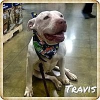 TRAVIS  - Pit Bull Terrier/Labrador Retriever Mix Dog for adoption in Arcadia, California -