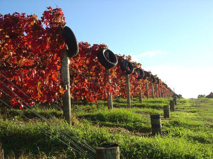 Carmenere Vines
