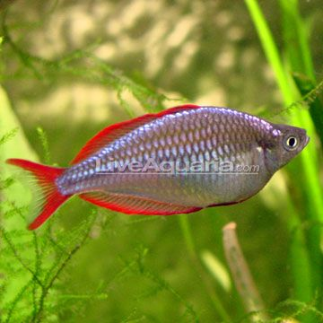 17 best images about rainbowfish of australia and new for Rainbow fish care