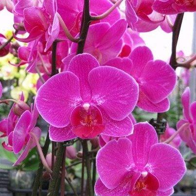 Intense Orchids
