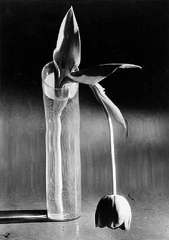 Melancholic Tulip, NY (© Andre Kertesz)                              …