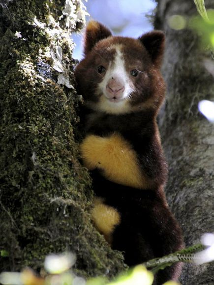 Matschie's Tree Kangaroo... Endangered. Tree Kangaroos, clumsy on flat ground, are highly threatened by habitat loss...