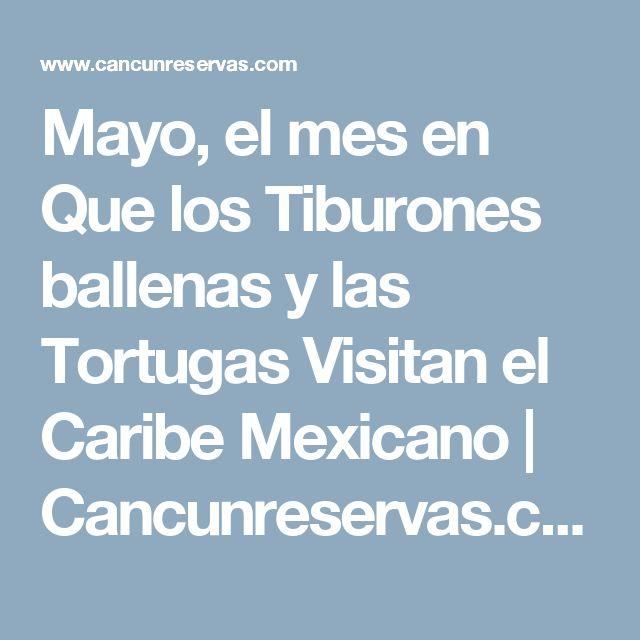 Mayo, el mes en Que los Tiburones ballenas y las Tortugas Visitan el Caribe Mexicano   Cancunreservas.com