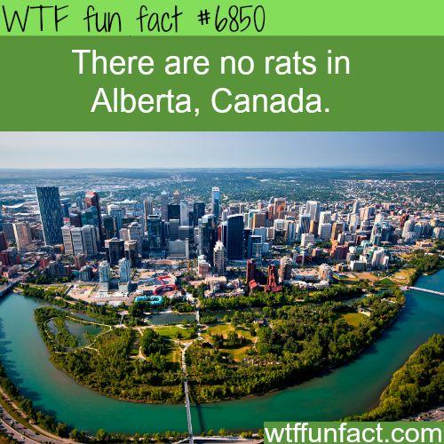 ﴾͡๏̯͡๏﴿ Ƒմɳ ֆ Ïɳ৳ҽɽҽʂ৳Ꭵɳɠ Ƒąç৳ʂ ﴾͡๏̯͡๏﴿ ᏇɦᎧ ҠɳҽᏇ??? ﴾͡๏̯͡๏﴿ ~ Alberta, Canada is rat free - WTF fun fact