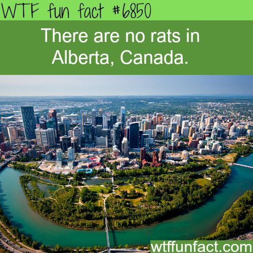 Alberta, Canada is rat free - WTF fun fact