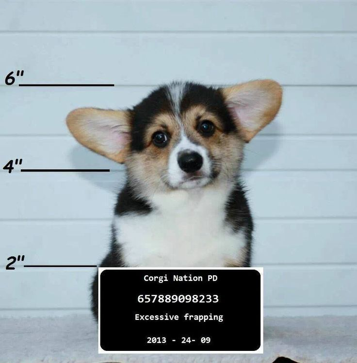 Look at the face. You know this corgi did not do it. Z