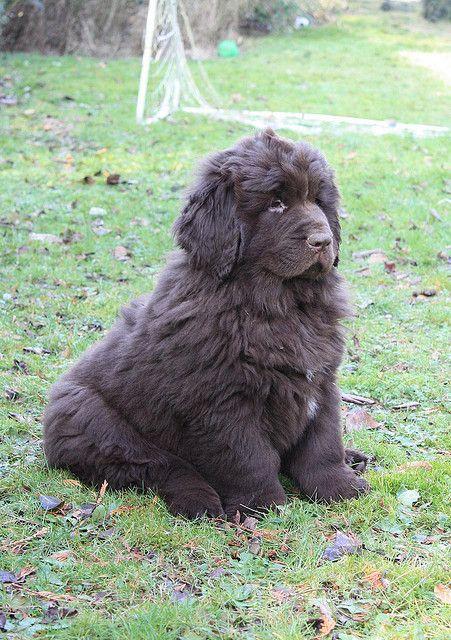 Newfoundlander puppy