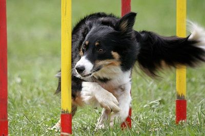 How to Get Started with Dog Agility Training | Cesar Millan