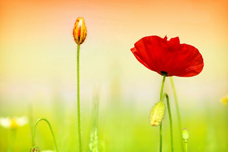 Poppy that I want to paint.