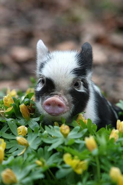 To own a little pot belly pig