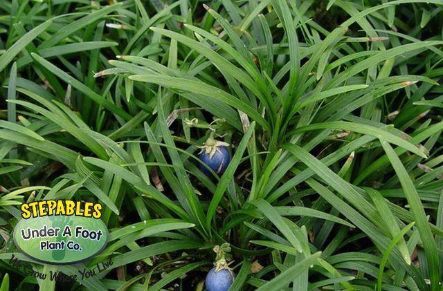 Ophiopogon japonicus Nana Dwarf Mondo Grass