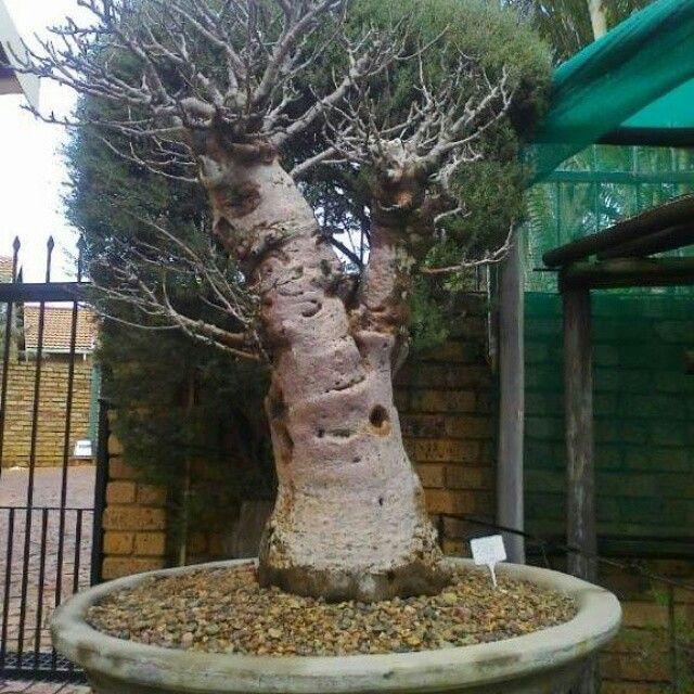 14 best bonsai tools images on pinterest bonsai tools for Unusual bonsai creations