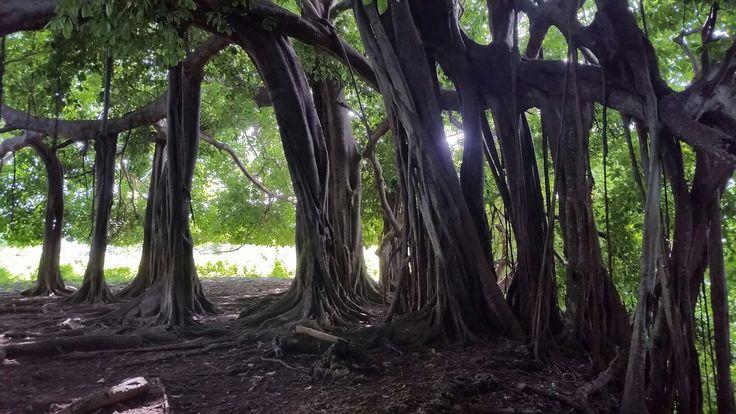 El árbol que camina - isla fuerte, córdoba