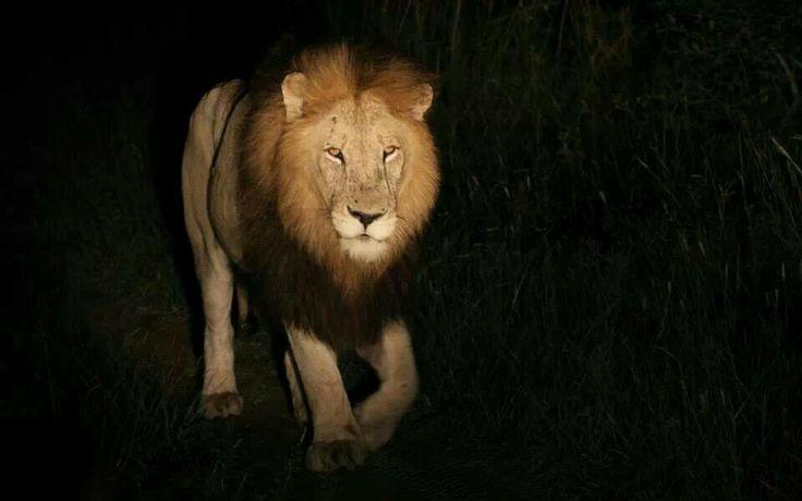 Matimba male - Kruger National Park