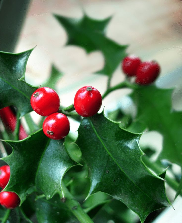 Learn to Draw a Holly Plant For Christmas Christmas Pinterest